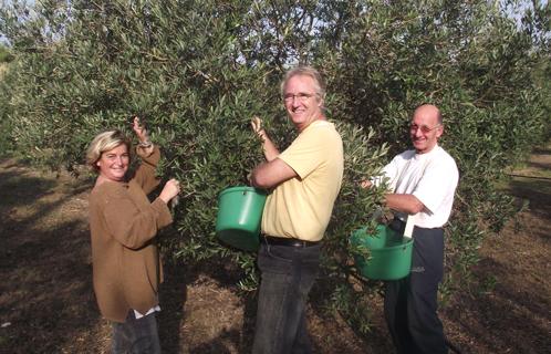 Le brusc patrimoine a la cueillette des olives au for Camping au jardin de la ferme