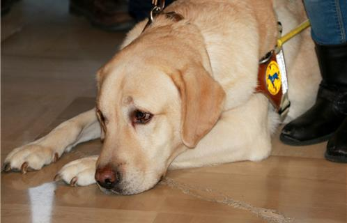 Caritatif : Remise d'un chien d'aveugle en mairie de Six-Fours - Ouest-Var.net