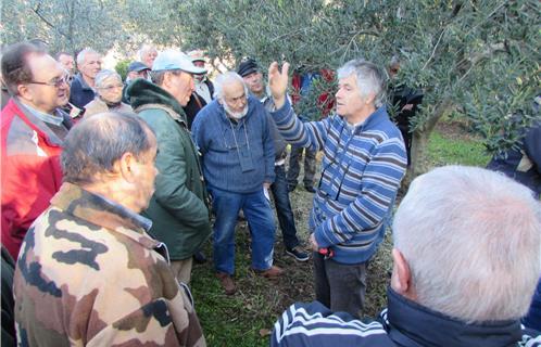 Ollioules culture un olivier il faut savoir le tailler cela s 39 appren - Comment tailler un jeune olivier ...